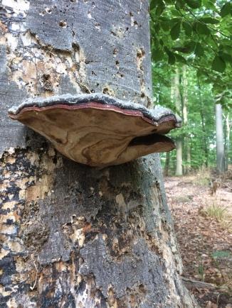 Baumpilz - Rotrandiger Baumschwamm