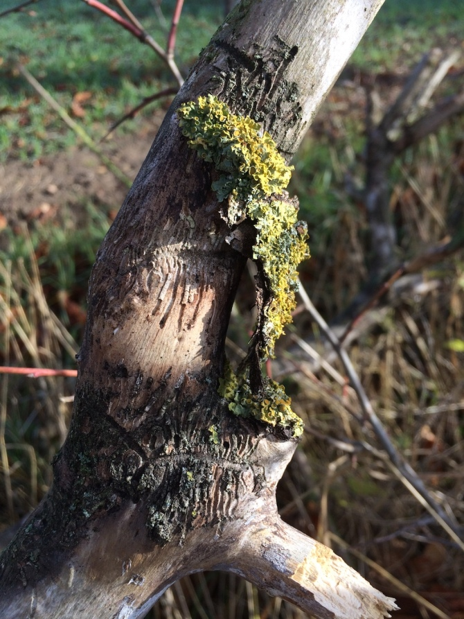 Reste einer Gelbflechte an einem Baumstamm