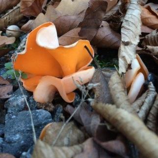 Orangebcherling im Wald