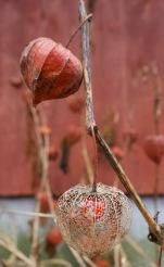Lampionblume im Garten