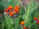 Orangerotes Habichtskraut im Garten
