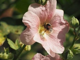 Pollenbad einer Hummel in einer Stockrosenblüte