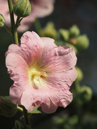 Geerntete Stockrosenblüte