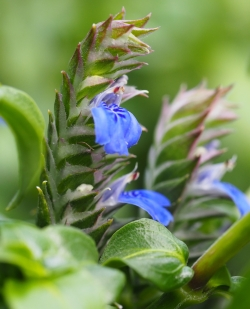 Pilzkraut Blüte im Garten