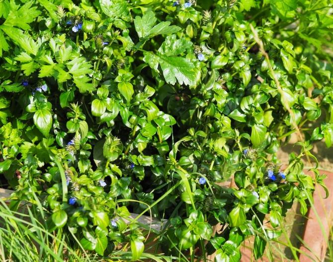 Pilzkraut im Garten