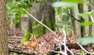 Rehkitze im Wald