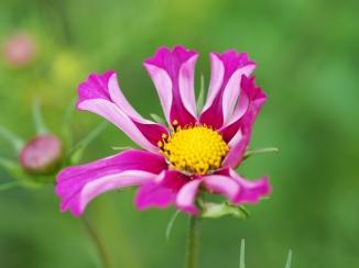 Blüte der Cosmea