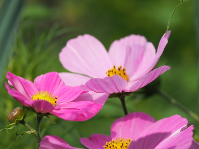 Blüten der Cosmea