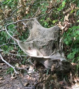 Altes Nest von Gespinnstmotten?