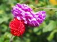 Gartenblüten - Dahlien