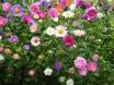 Gartenblüten