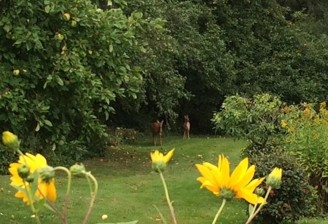 Rehe in Nachbars Garten