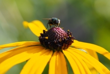 Fliege im Garten