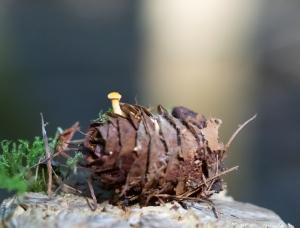 Kleiner Pilz auf Zapfen