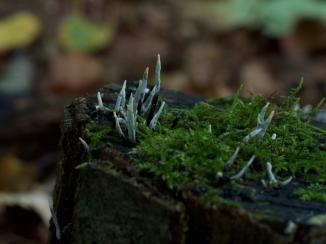Geweihförmige Holzkeule
