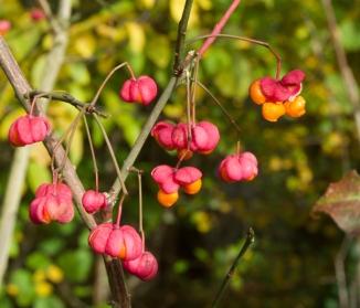 Geöffnete Pfaffenhütchenfrüchte mit orangen Kernen