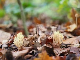 Korallen Pilz auf Waldboden
