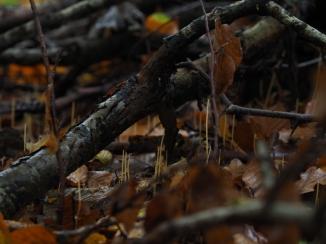 Binsenkeule (Macrotyphula filiformis)