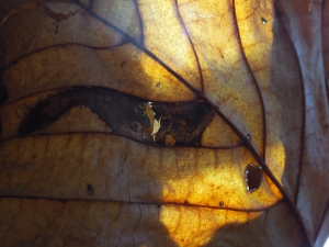 Herbstliches Kastanienblatt im Sonnenlicht