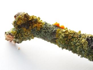 Sturmfund - Flechte mit orangegelbem Zitterling