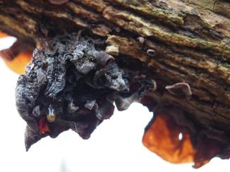 Judasohren auf einem Holunderbaum