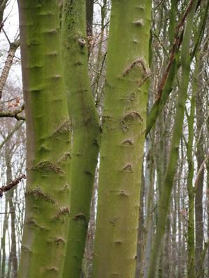 Baum in grüner Rinde
