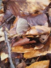 Ahornsamen auf Waldboden