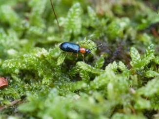 Käfer auf Moos im Wald