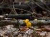 Goldgelbe Zitterlinge wachsen aus Borke