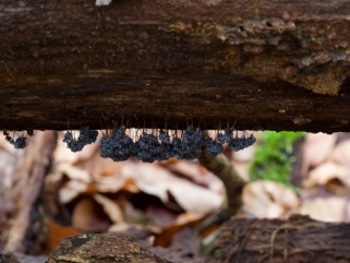 Badhamiautricularis im Wald am Kupfermühlenteich