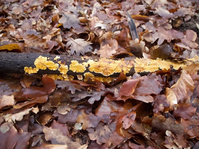 Striegeliger Schichtpilz im Wald