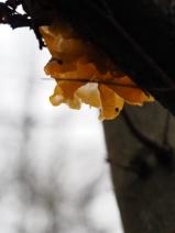 Goldgelber Zitterling an einem Baum