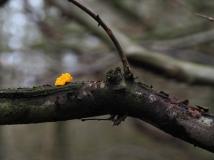 Kleiner goldgelber Zitterling auf Ast