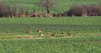 Ein Sprung Rehe liegend im Feld