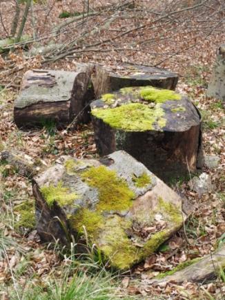 Moosbewachsene Baumscheiben im Wald