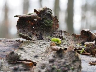 Wald Kleinode - Baumrinde gerollt