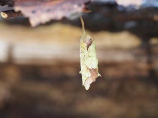 Wald Kleinode - Blatt gerollt