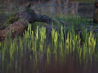 Gras im Wasser