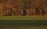 Rehe auf dem Feld