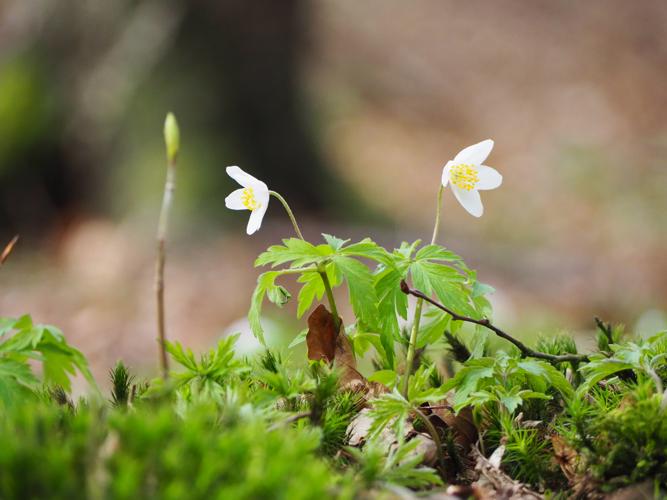 Zarte Blüten auf einem Stubben