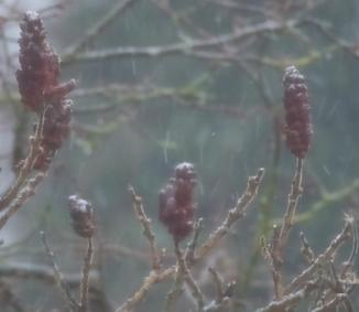 Schnee auf den Früchten des Essigbaums