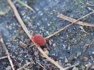 Rote Samtmilbe turnt durch den Garten