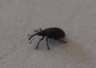 Sehr kleiner Rüsselkäfer in der Wohnung