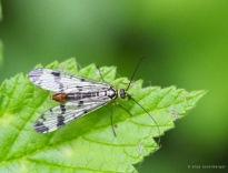 Skorpionsfliege - Panorpa germanica