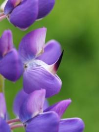 Sich öffnende Blüte einer Lupine