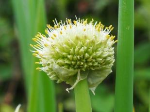 Blüte der Winterheckzwiebel