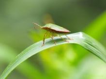 Grüne Stinkwanze - Palomena prasina