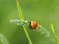 Siebenpunkt-Marienkäfer - Coccinella septempunctata