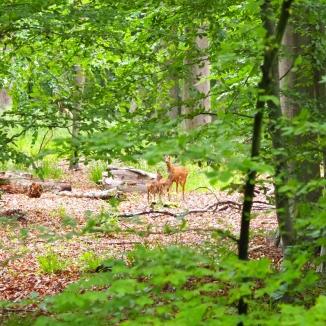 Reh mit ihren zwei Kitzen im Wald