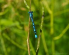 Azurjungfer - Coenagrion